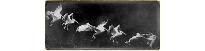 Wings - Marey chronophotography-etienne-jules-marey-pelican-1887 edited 02